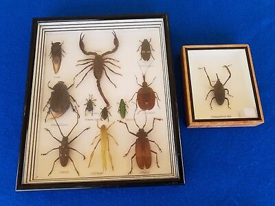 Scorpion Beetle Bugs Insect Taxidermy Specimen Collection Framed Display Case
