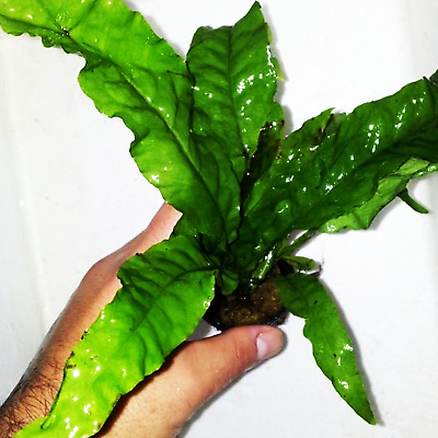 Java Fern Potted BUY2GET1FREE Microsorum Pteropus Easy Live Aquarium Plant Roots