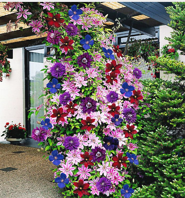 200pcs 24 Colors Mixed Clematis Climbing Plants Seeds Flower Home Garden Decor