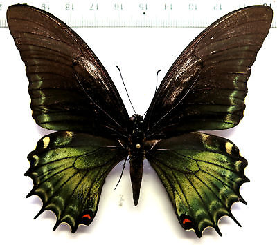 Papilio androgeus ssp. male *Colombia*