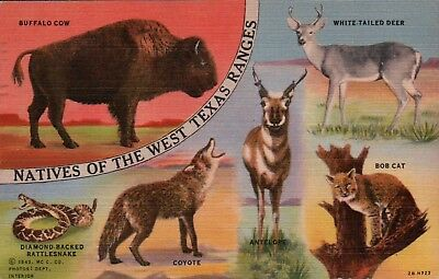 Natives of the West Texas Ranges, TX Vintage Postcard