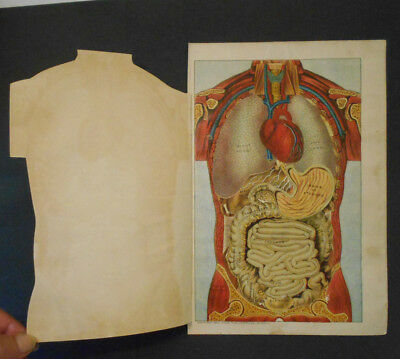 1903 antique Human Anatomy- ABDOMEN Art Medical Science Diagram-MULTI-LAYER 6