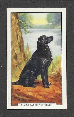 1938 UK Art Gallaher 2nd Series Cigarette Card Black FLAT COATED RETRIEVER DOG