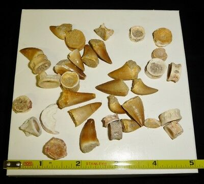DINO: MOSASAUR TEETH and FISH VERTIBRATE Fossil Assortment, Morocco - 46 gr.
