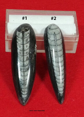2 Orthoceras Fossils Each 2.25 Inches Long Polished Top And Bottom From Morocco