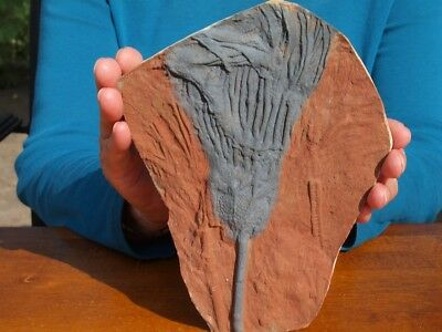 "Huge 7.75"" inch Detailed Scyphocrinites CRINOID Fossil from Morocco"