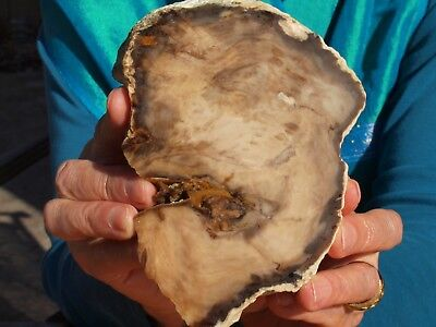 Rare Madagascar Petrified Wood Fossil with Tree Rings