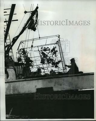 1963 Press Photo Alaskan Crabs cling to a pot being hauled to another boat
