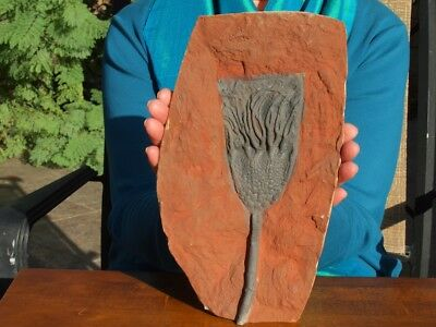 "Huge 10.5"" inch Detailed Scyphocrinites CRINOID Fossil from Morocco"
