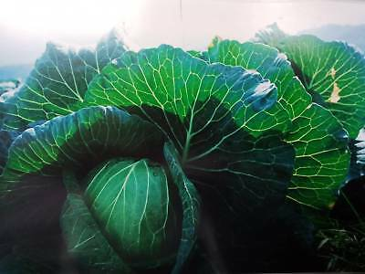 Cabbage in the Garden, Green Vegetables Beautiful, By Kodak Camera.