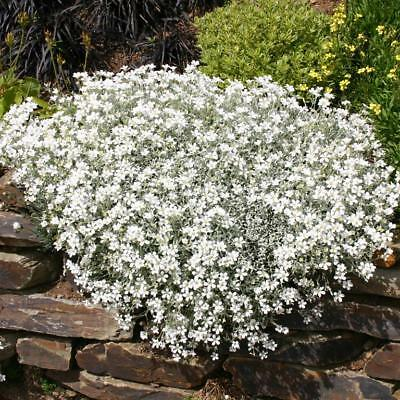 Snow In Summer - Cerastium Tomentosum -1000 Seeds - Perennial Flower