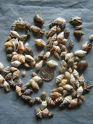 200 TINY MIXED SEASHELLS Small Sea Shells Craft Wedding Beach Confetti