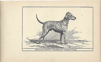 1900 UK Original Dog Art Pen Ink Print RH Moore Ch Clyde Boy BEDLINGTON TERRIER