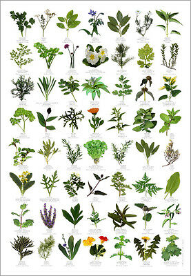 Herbs Identification Food Poster text in English, French, German