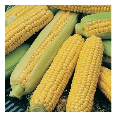 Sweet Corn Sweetcorn Incredible F1 55 Finest Seeds