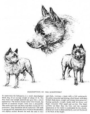 Schipperke Sketch - 1963 Vintage Dog Print - Matted