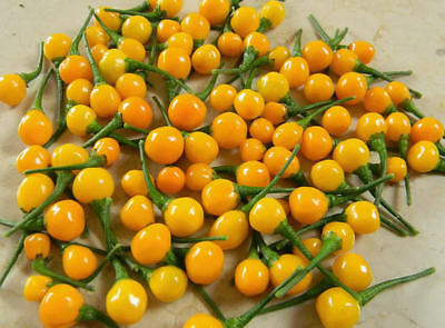 Vegetable Hot Chilli Pepper  Aji Charapita 15 Finest Seeds