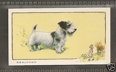 Rare 1934 UK Dog Art Full Body Study Gallaher Cigarette Card SEALYHAM TERRIER