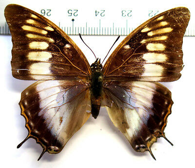 Charaxes plantroui female *RCI*