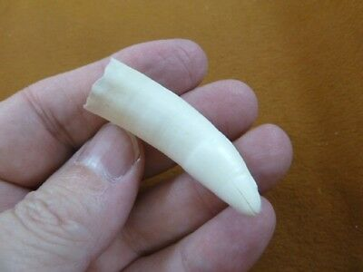 "(g371-336) 2"" GATOR Alligator Aligator Tooth TEETH for jewelry I love FL gators"