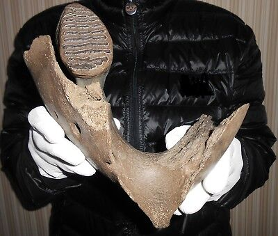 Woolly Mammoth part jaw + Tooth Pleistocene fossil high quality
