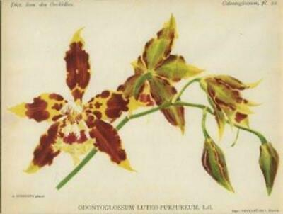 Plate #22 from Dict. Icon. des Orchidees: 'Odontoglossum Luteo Purpureum'