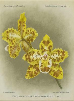 Print Plate from 'Dictionnaire Iconographique des Orchidees' - Odontoglossum Har