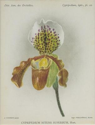 Print Plate from 'Dictionnaire Iconographique des Orchidees' - Cypripedium Niten