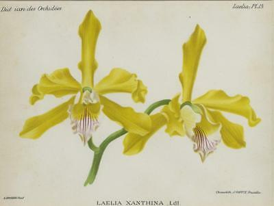 Print Plate from 'Dictionnaire Iconographique des Orchidees' - Laelia Xanthina