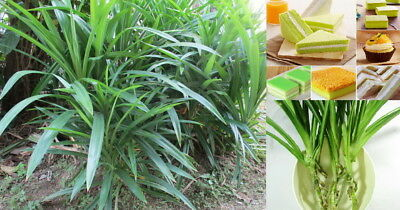 3 x Aromatic Pandanus Fragrant Leaves Pandanus Rhizomes Rooted Plants
