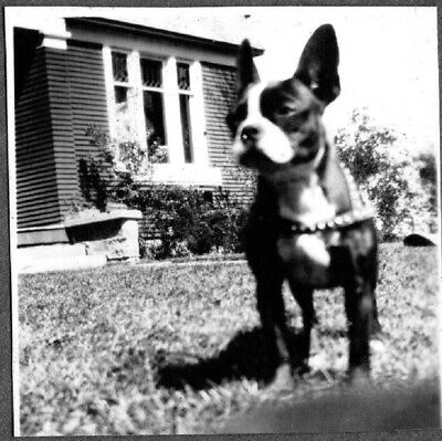 Vintage Photograph 1930-40's Boston Terrier Dog Puppy Pup Leather Harness Photo