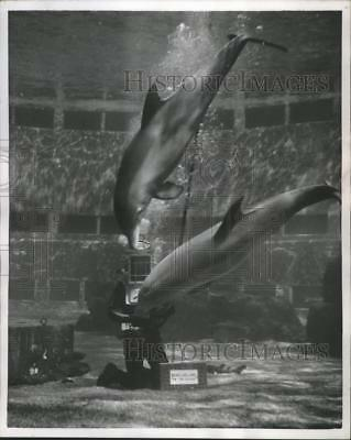 1955 Press Photo Porpoises Playing With A Diver at Marineland of the Pacific