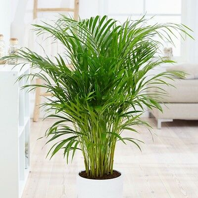 Live Areca Palm Aka Dypsis Lutescens Erfly Plant Fit 4 Pot