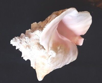 """Large Queen Conch Beach Sea Shell Beautiful Pink 7"""" X  8"""" From A Vintage Estate"""
