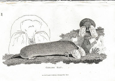 """1800 George Shaw Antique Engraving - """"Canada Rat"""" - Case of Mistaken Identity !"""