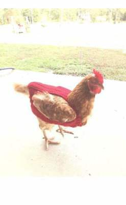 crocheted chicken sweater 5 colors 4 sizes pet clothes photo prop