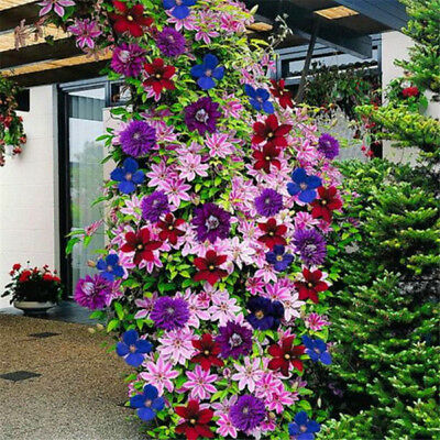50pcs multicolor mixed clematis climbing plants seeds flower home garden deco LA