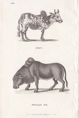 1801  Antique Engravings (3) - Wild Pigs, African Sheep, Indian Ox - George Shaw