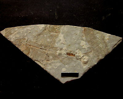 Late Jurassic Lycoptera Fish Fossil-305