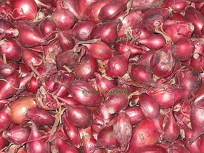 Onion Sets - Red Karmen - 1/4 Kg (Approx 60-70 Large Sets)