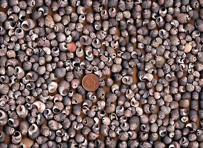 Lots of very sea worn PERIWINKLE broken shell pieces from Dunbar,Scotland,470g
