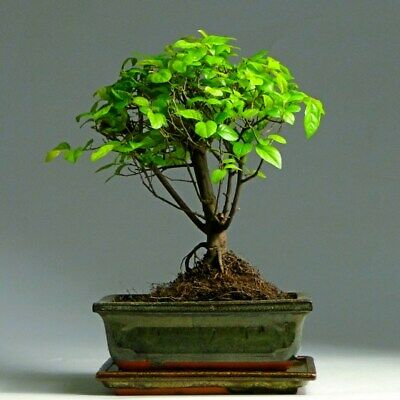 30pcs Chinese Elm Bonsai Seeds Tree Color Aromatic Seed Of An Evergreen Plant