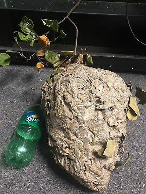 Bald Face Hornet Nest BeeHive For Civil War MANCAVE Taxidermy Paper Wasp Bees