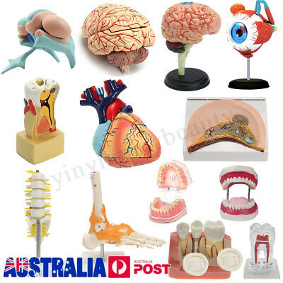 4D Disassembled Anatomical Human Brain Heart Eye Tooth Model Medical Teach Learn