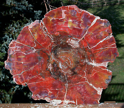 "SiS: SPELLBINDING 14"" Arizona RAINBOW Petrified Wood Conifer Round!"