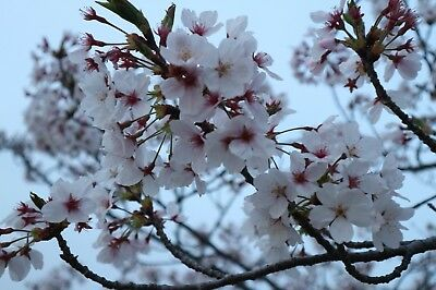Photo Digital Picture Image Cherryblossoms JAPAN JPG Free Shipping Worldwide