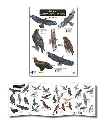 Field Guide to British Birds of Prey Laminated Identification Chart Poster