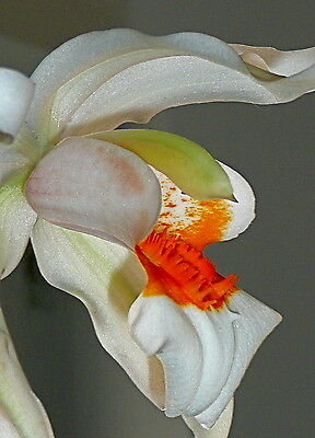 Coelogyne Hybride Orange Fire Lip Duft NEW Orchidee Orchideen