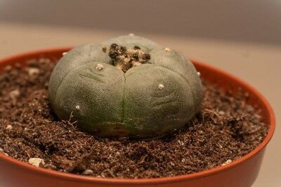 3 x Lophophora Williamsii (Peyote) 3,5 cm