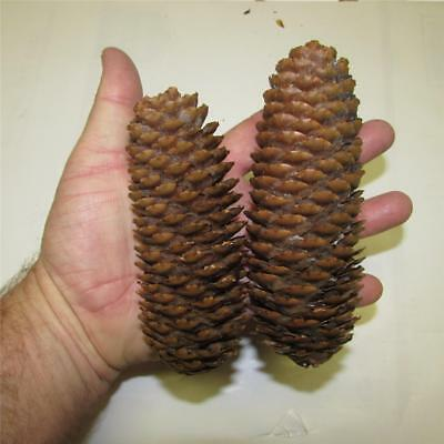 """45-Plus Norway Spruce Tree Pine Cones, 4"""" to 6"""" in size, Nice Symmetrical Cones"""